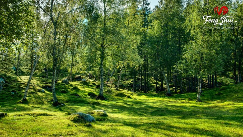 Birch-wood